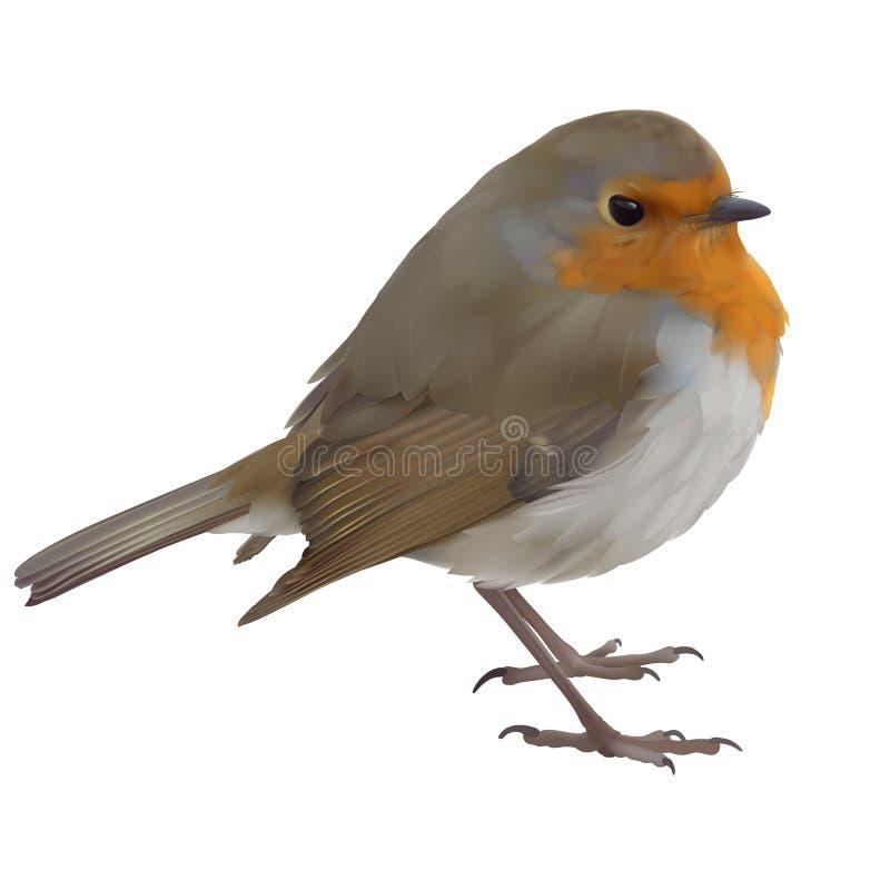 European Robin - Erithacus rubecula. vector illustration