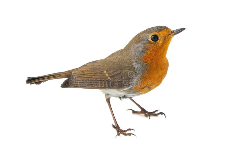 European robin, Erithacus rubecula, isolated on a white background stock photo