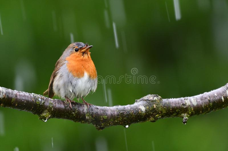 The European Robin, in a rainy day. The European robin Erithacus rubecula, known simply as the robin or robin redbreast in the British Isles, is a small stock image