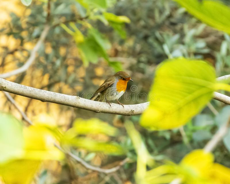 The European robin bird sitting on a tree branch.Rome Italy royalty free stock image
