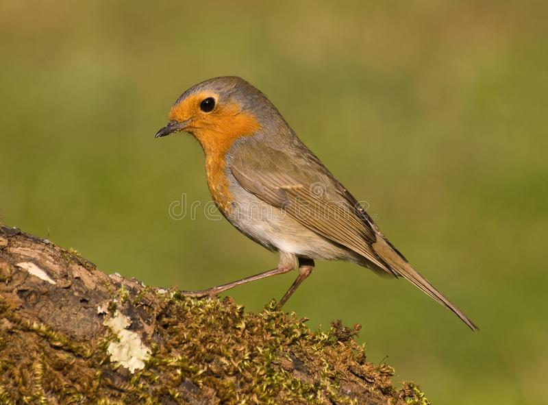 European robin (Erithacus rubecula) perched in a branch with moss in summer with natural green background stock photos