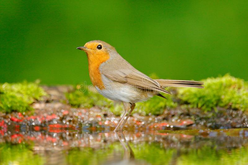 European Robin, Erithacus rubecula, sitting in the water, nice lichen tree branch, bird in the nature habitat, spring, nesting tim royalty free stock photo