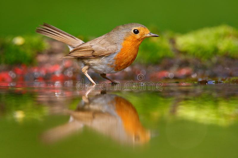 European Robin, Erithacus rubecula, sitting in the water, nice lichen tree branch, bird in the nature habitat, spring, nesting tim royalty free stock images
