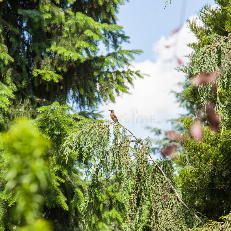 Download European Robin stock image. Image of sing, nature, branch - 37554689