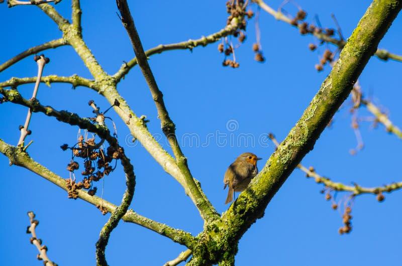 European robin Erithacus rubecula in a tree royalty free stock photo
