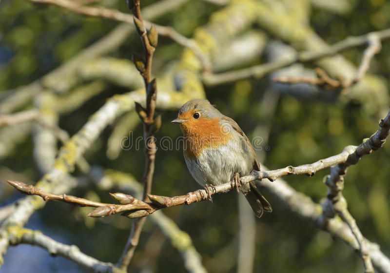 Download European Robin Stock Photo - Image: 83719995