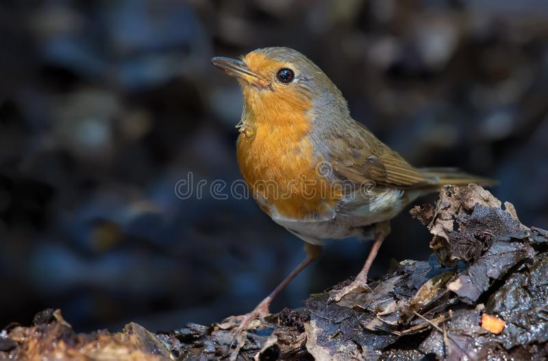 European Robin sits with spider under her beak stock images