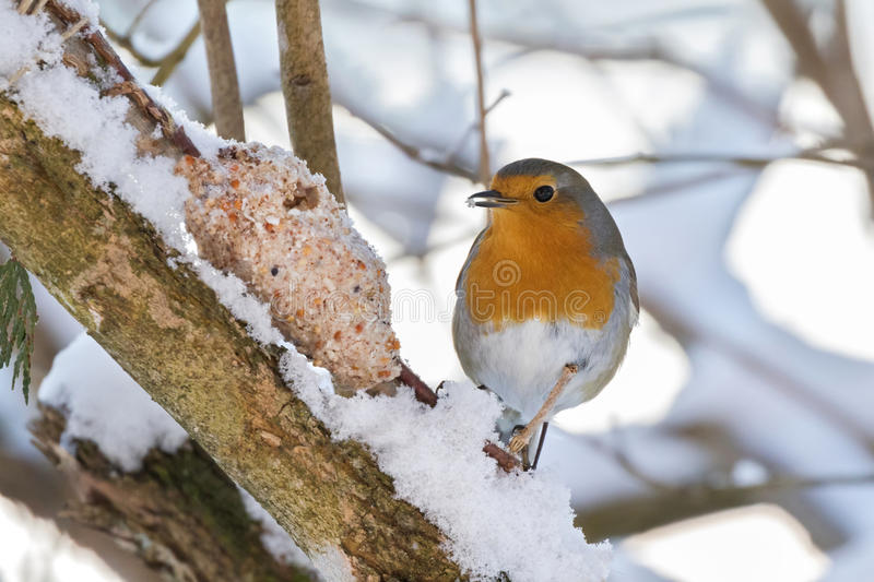 European robin redbreast bird eating homemade bird feeder, coconut fat cookie with nut, raisin wrapping on branch stock photography