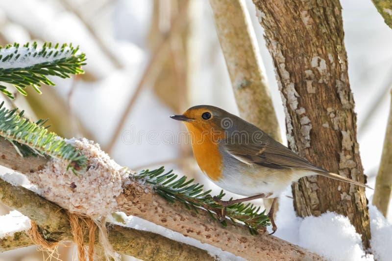 European robin redbreast bird perching near homemade bird feeder. Coconut fat cookie with nut, raisin wrapping on branch, winter in Austria, Europe Erithacus stock photos