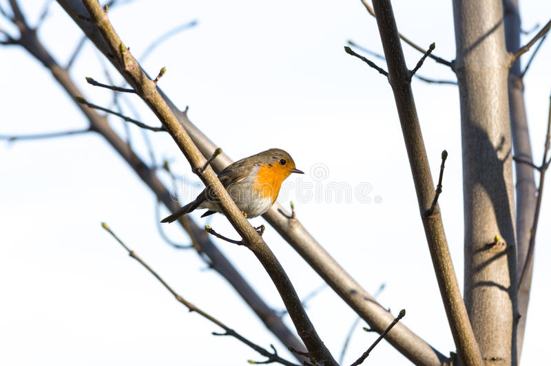 European Robin Redbreast - erithacus rubecula melophilus. Perched on branch stock photos