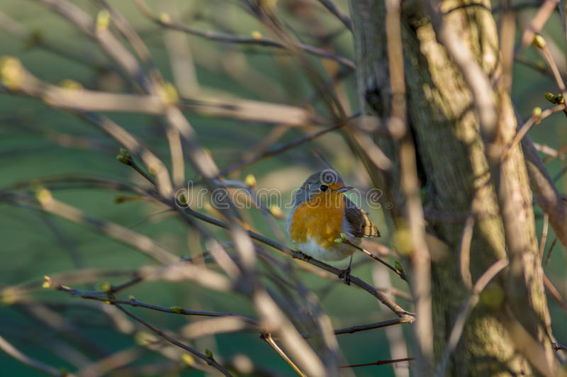 European Robin Redbreast - erithacus rubecula melophilus. Perched on branch royalty free stock image