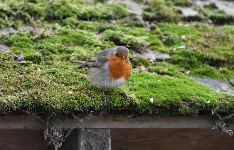 Robin Redbreast Bird. A European robin redbreast song bird perched on a moss covered roof stock photo