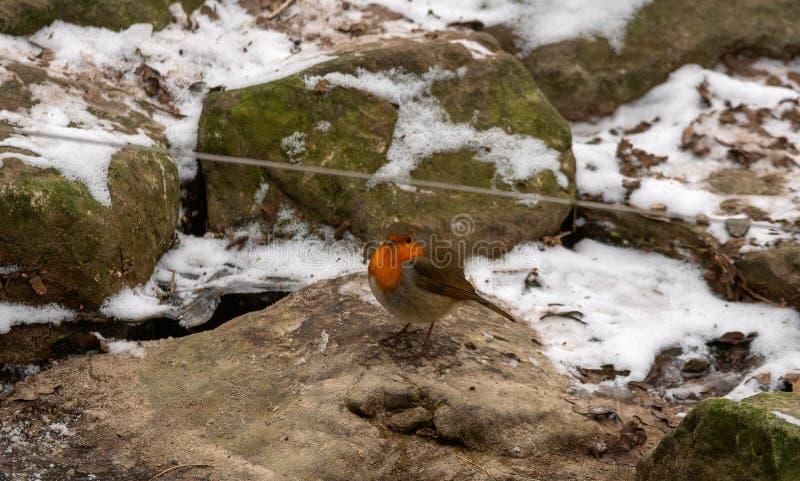 European robin on stone at winter stock photography
