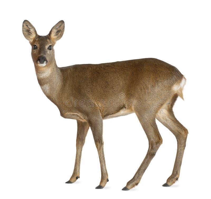 European Roe Deer, Capreolus capreolus royalty free stock photo