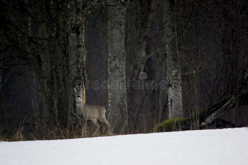 The European Roe Deer - Capreolus capreolus and winter at the edge of the forest. stock images
