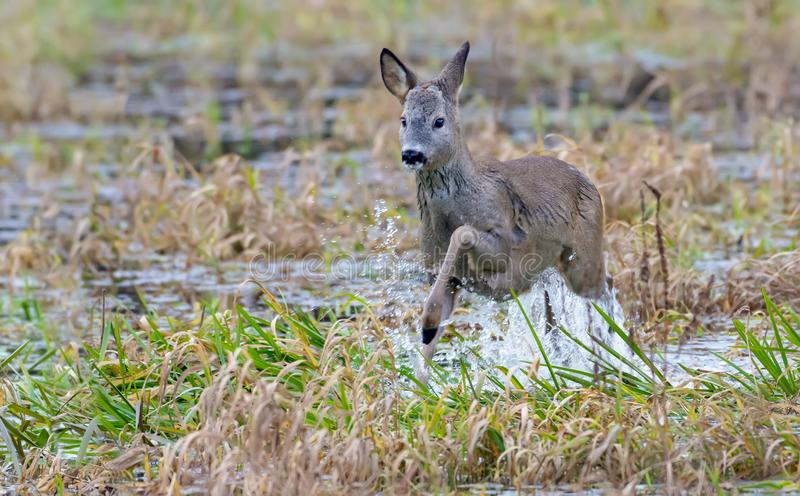 European roe deer leaps over water of small river with a lot of splashes and drops royalty free stock photography