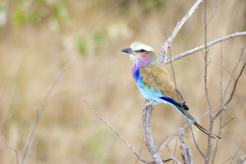 Download European Roller stock image. Image of colorful, africa - 1416193