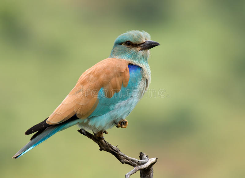 European Roller royalty free stock images