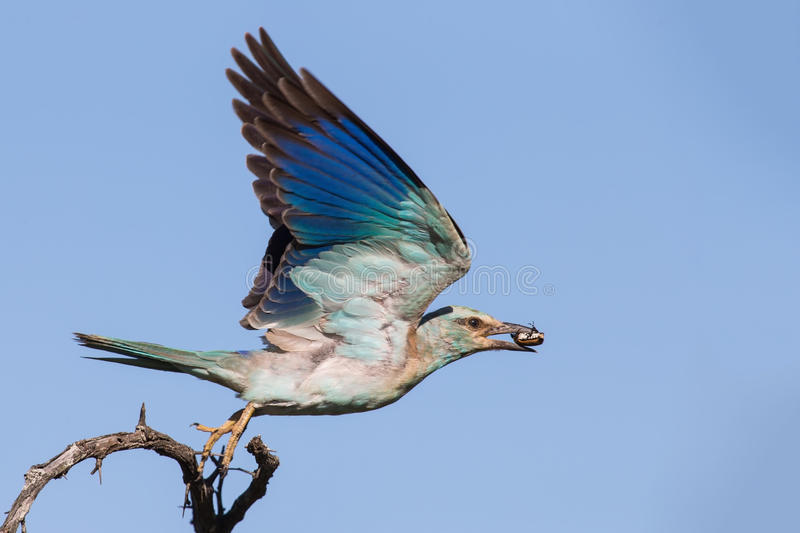 European roller with a bug in its beak take off from branch. To eat it stock photo