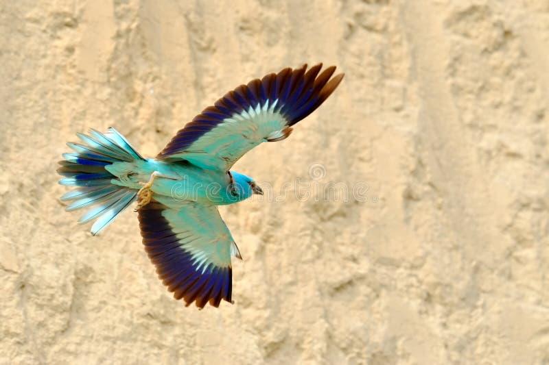 European roller (coracias garrulus). In flight royalty free stock photos