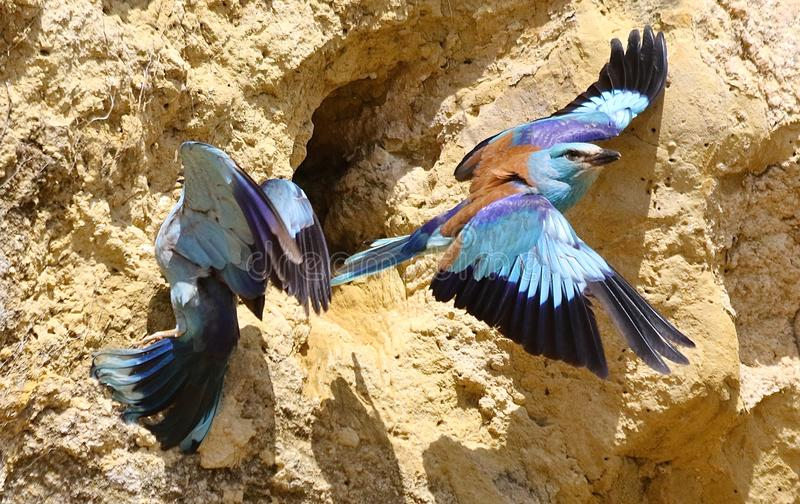 European roller & x28;Coracias garrulus& x29;. European roller in Andalusia Spain royalty free stock images