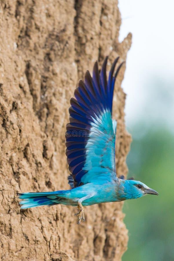 European roller or coracias garrulus in flight near by nest hole. Natural, bird, wildlife, colorful, nature, exotic, animal, feather, migratory, behavior stock photos