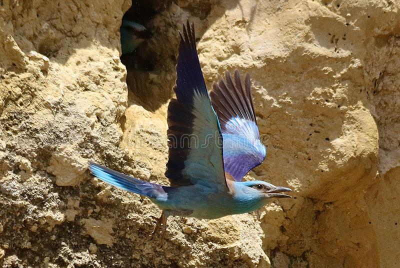 European roller & x28;Coracias garrulus& x29;. European roller flying in Andalusia Spain stock images