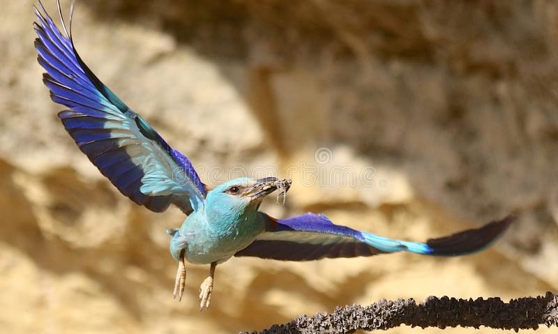 European roller Coracias garrulus. European roller flying in Andalusia Spain stock photography