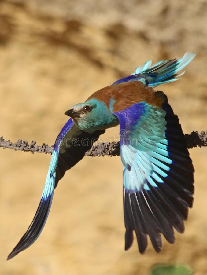 European roller & x28;Coracias garrulus& x29;. European roller flying in Andalusia Spain royalty free stock photography