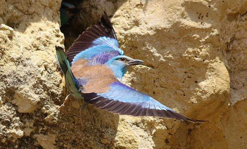 European roller & x28;Coracias garrulus& x29;. European roller flying in Andalusia Spain stock photography