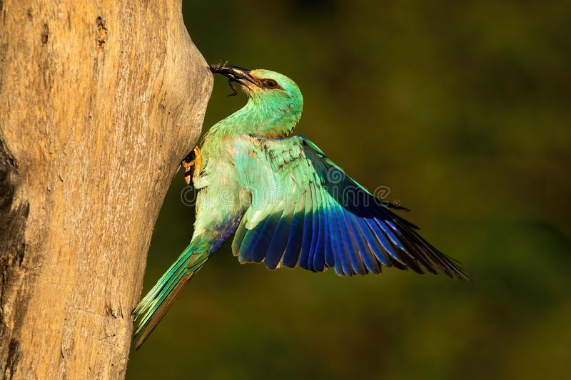 European roller holding frog in beak and landing on nest to feed young. European roller, Coracias garrulus, holding frog in beak and landing on nest to feed royalty free stock photo