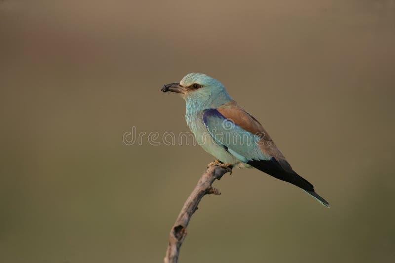European roller, Coracias garrulus,. Single bird on branch, Hungary stock photos
