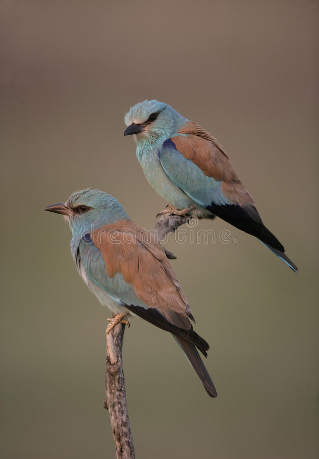 European roller, Coracias garrulus,. Two birds on branch, Hungary royalty free stock images