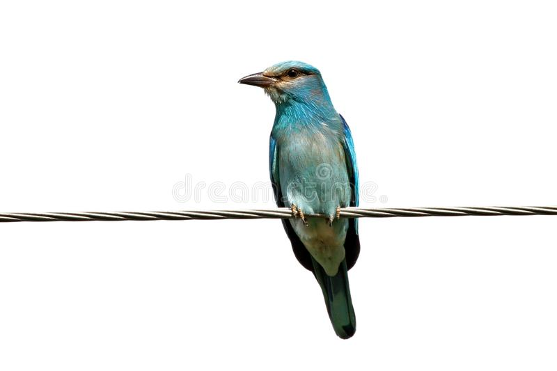 European roller on the electrical wire isolated on white. Background stock photography