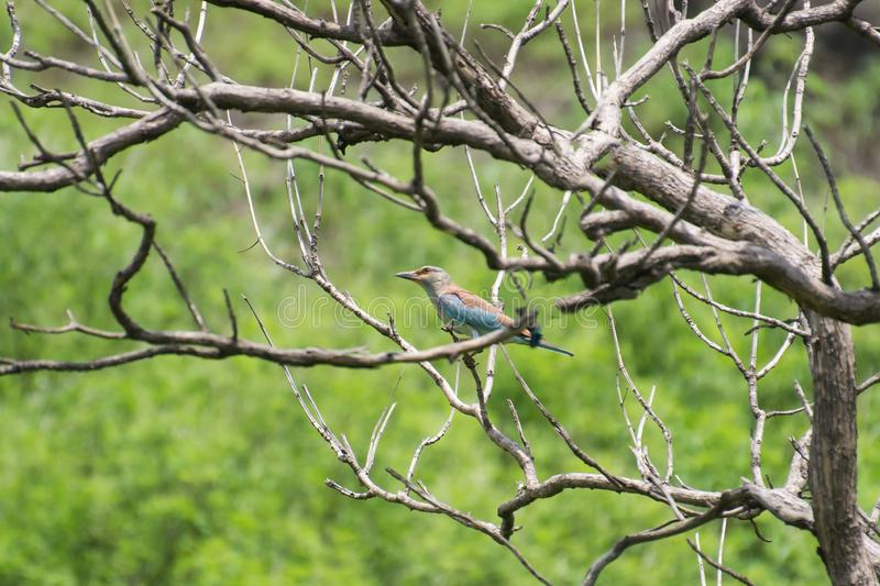 European Roller in the Jungle royalty free stock photo