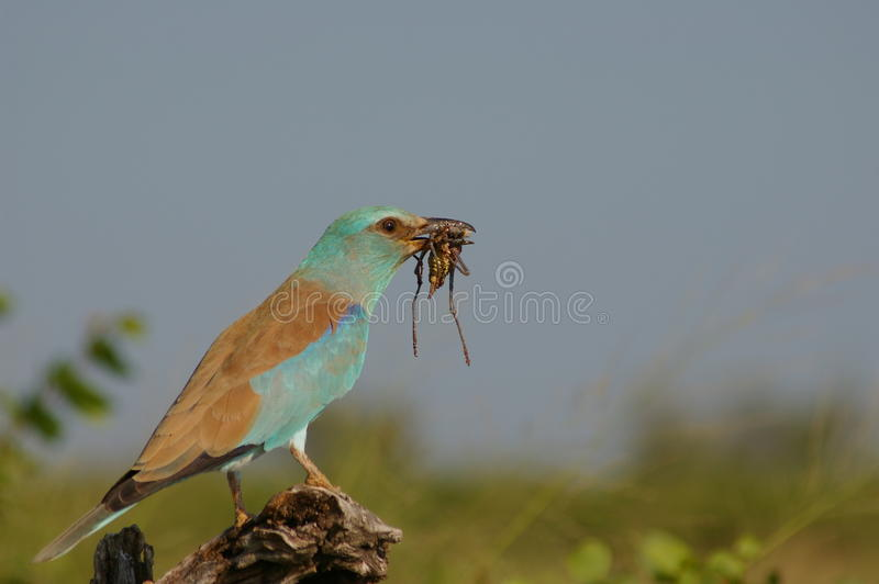 European roller mealtime royalty free stock images