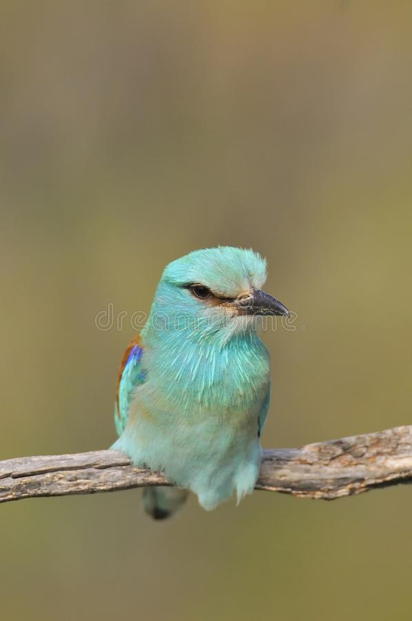 European roller perched on a branch. Coracias garrulus royalty free stock images