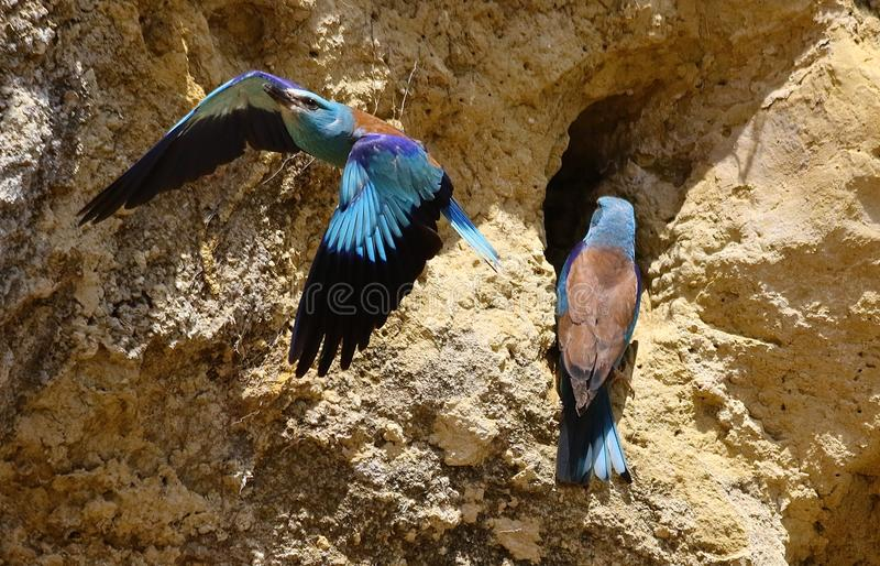 European rollers Coracias garrulus. European rollers in Andalusia Spain stock photography