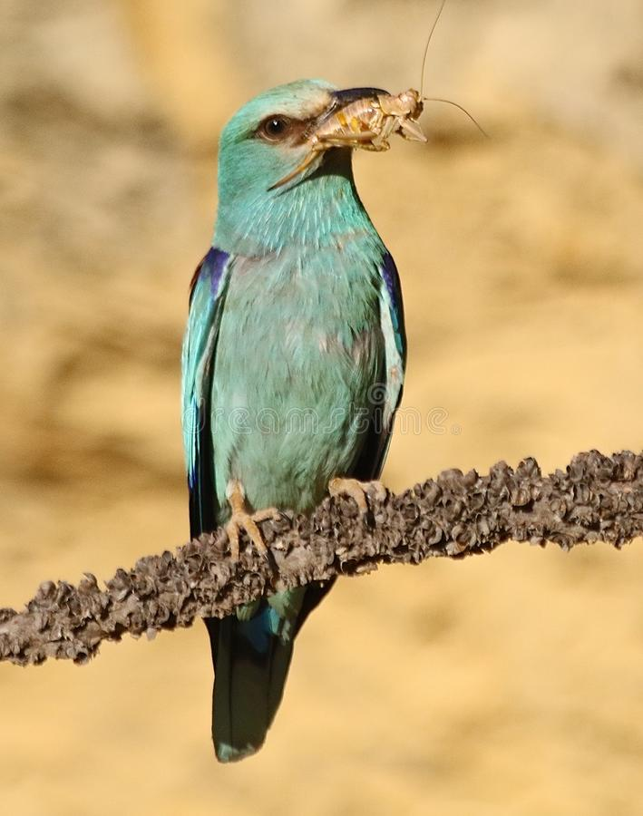 European rollers & x28;Coracias garrulus& x29;. European roller in Andalusia Spain at sunrise stock images