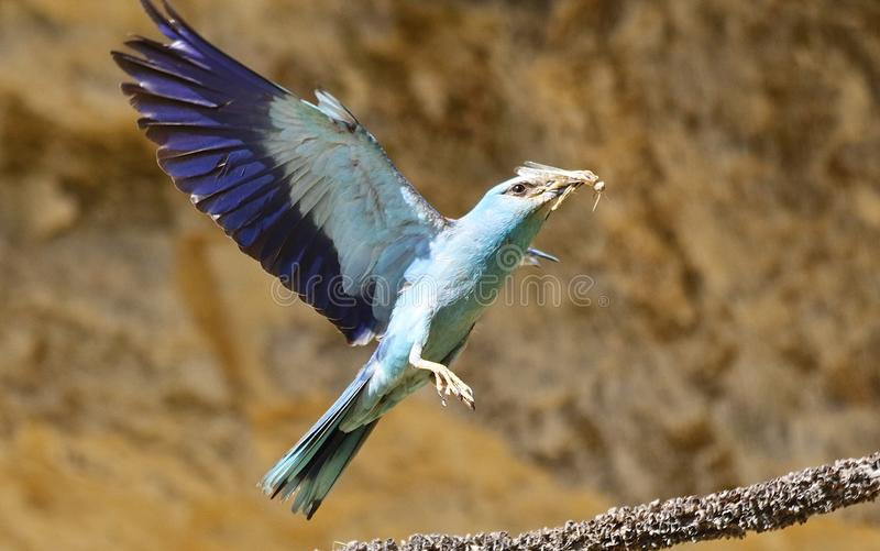 European rollers Coracias garrulus. European roller in flight in Andalusia Spain royalty free stock photography