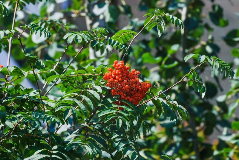 European rowan or mountain-ash Sorbus aucuparia. Red berries of European rowan or mountain-ash Sorbus aucuparia royalty free stock photo