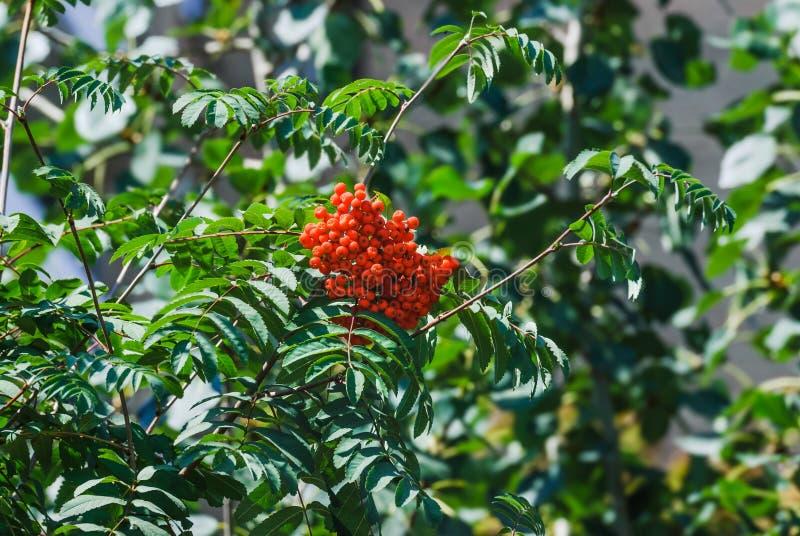 European rowan or mountain-ash Sorbus aucuparia. Red berries of European rowan or mountain-ash Sorbus aucuparia royalty free stock photography