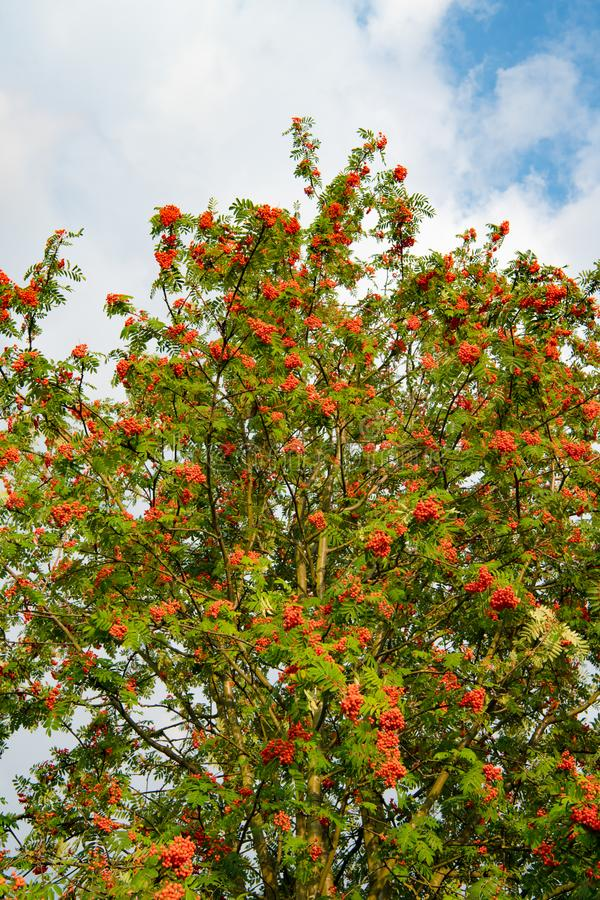 European rowan tree - Sorbus aucuparia - with lots of ripe orange red berries. European rowan tree, lat. Sorbus aucuparia. The ripe, bright red berries in royalty free stock photos