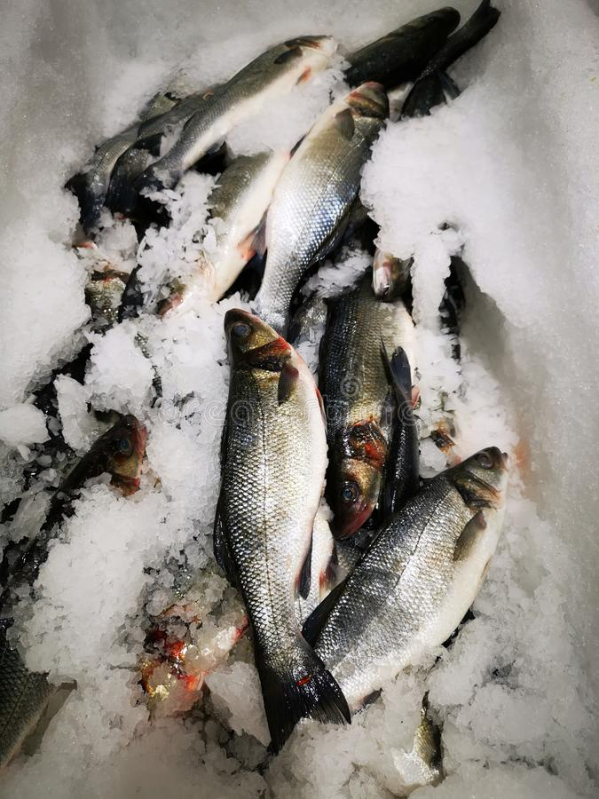 European sea bass on ice. Fresh european sea bass on ice for sale - european sea bass, also known as lavrac or sea bass, is a fish that tends to populate oceanic stock image