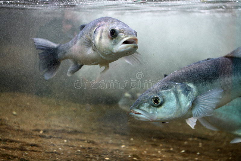 European Seabass (Dicentrarchus labrax) stock image