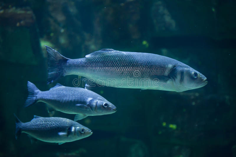 European seabass (Dicentrarchus labrax). Also known as the Mediterranean seabass royalty free stock image