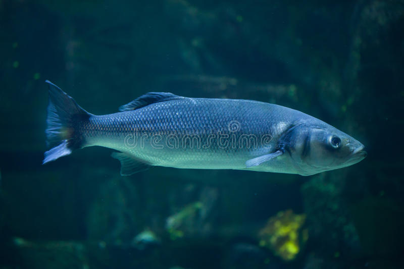 European seabass Dicentrarchus labrax. Also known as the Mediterranean seabass stock photography