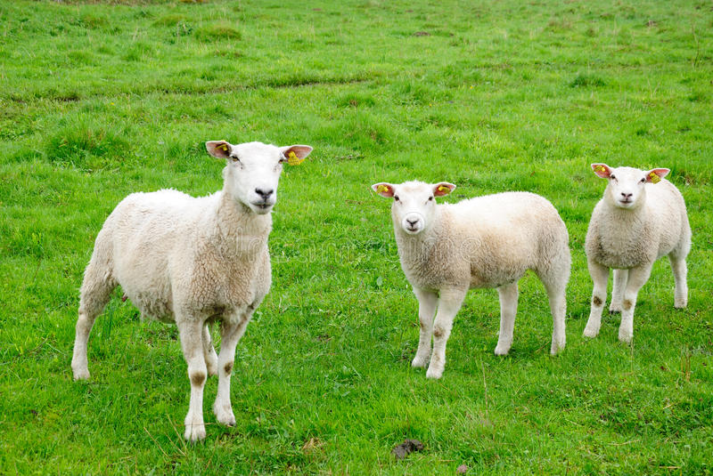 Download European sheep stock image. Image of ears, family, field - 14339399
