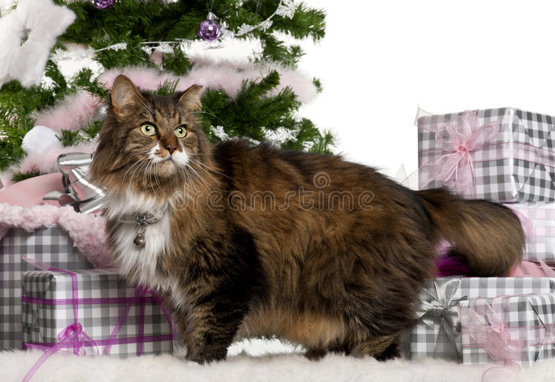 Download European Shorthair, 11 Years Old Royalty Free Stock Photo - Image: 22517255
