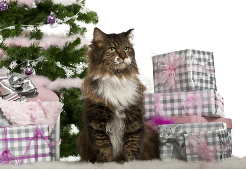 Download European Shorthair, 11 Years Old, Sitting Stock Image - Image: 22629693